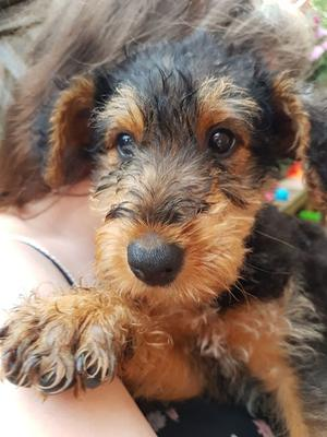 Kc Registered Airedale Terrier Puppies For Sale FOR SALE ADOPTION