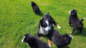Pedigree Bernese Mountain Dog For Sale FOR SALE ADOPTION