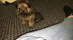 Pomeranian X Yorkie FOR SALE ADOPTION
