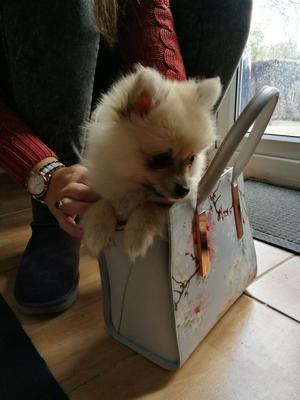 X Pomeranian Pups 2 Left FOR SALE ADOPTION