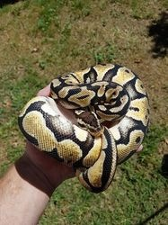 Burmese Green Python Baby Ball and Albino pythons for sale FOR SALE ADOPTION
