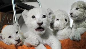 Cheetah cubs Tiger cubs Lion cubs Jaguars zebra owls for sale and Adoption FOR SALE ADOPTION
