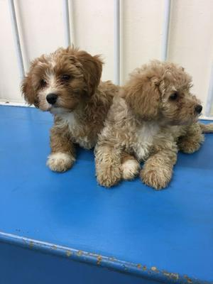 Beautiful Cavapoos Only 1 Boys Left FOR SALE ADOPTION