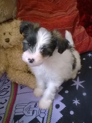 Beautiful Chinese Crested Puppies Kc Reg FOR SALE ADOPTION