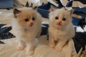 Beautiful Friendly Ragdoll Kittens ready to go to their new lovely home FOR SALE ADOPTION