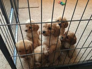 F1 Cavapoo Puppies For Sale FOR SALE ADOPTION