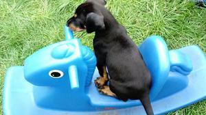 Kc Reg Dobermann Pups Ready Now FOR SALE ADOPTION