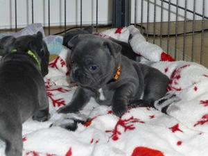 Male and female French bulldog puppies FOR SALE ADOPTION
