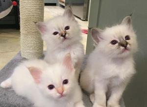 Pedigree Birman Kittens FOR SALE ADOPTION