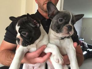 Short stocky outstanding Girl ready Now French Bulldogs FOR SALE ADOPTION