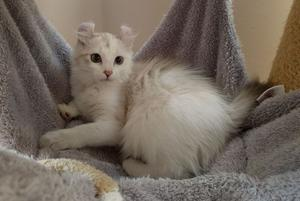 Stunning American Curl Girl Available FOR SALE ADOPTION
