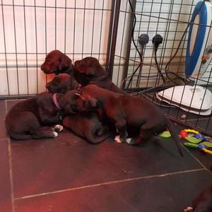 Adorable And Lively Great Dane Puppies For Sale FOR SALE ADOPTION