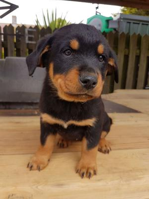Adorable rottweiler puppies for you FOR SALE ADOPTION