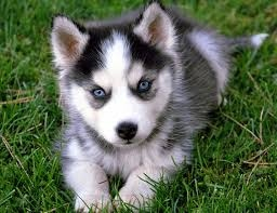 Adorable siberian husky puppies for adoption FOR SALE ADOPTION