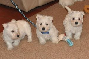 West Highland Terrier puppies ready now FOR SALE ADOPTION