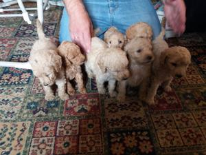 Beautiful Litter Of Standard Poodle Puppies For Sale FOR SALE ADOPTION
