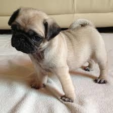 Fawn Pug puppies for adoption FOR SALE ADOPTION