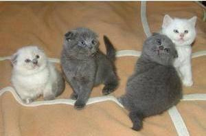 Lovely Scottish fold kittens FOR SALE ADOPTION