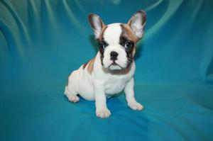 Male and female french bulldog puppies for sale FOR SALE ADOPTION