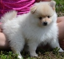 Stunning Pomeranian Puppies FOR SALE ADOPTION