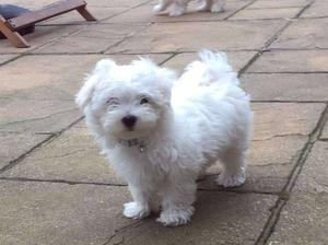 Toy english white Maltese female puppy FOR SALE ADOPTION