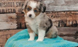 Affordable Australian Shepherd puppies available FOR SALE ADOPTION