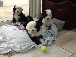 Awesome Old English Sheepdog Puppies FOR SALE ADOPTION
