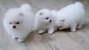 Beautiful Pomeranian Puppies ready to go now FOR SALE ADOPTION