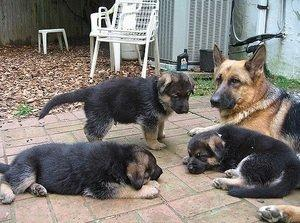German Shepard Puppies Available now FOR SALE ADOPTION