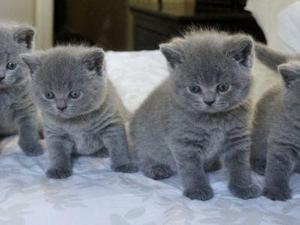British Short hair Kittens available now FOR SALE ADOPTION