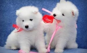 Gorgeous Samoyed Puppies For Adoption FOR SALE ADOPTION