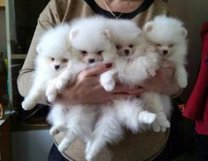 Top quality Male and Female Pomeranian puppies 100 Purebred FOR SALE ADOPTION