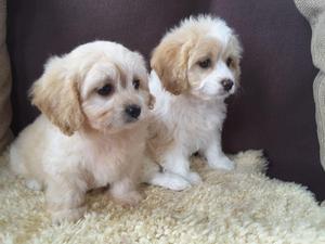 Adorable Cavachon Puppies FOR SALE ADOPTION