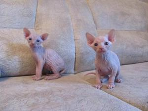 Beautiful Sphynx Kittens for Adoption FOR SALE ADOPTION