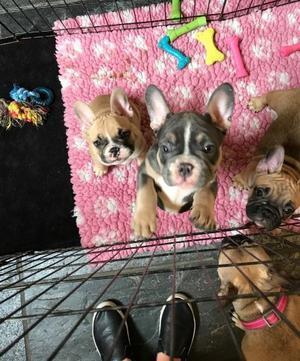 French Bulldog Puppies Kc Reg At at FOR SALE ADOPTION