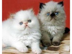 Gorgeous Himalayan kittens Available FOR SALE ADOPTION