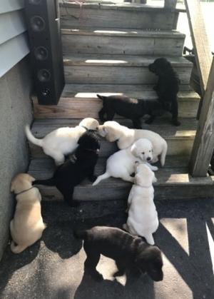 Home Trained Labrador Retriever Puppies for adoption FOR SALE ADOPTION