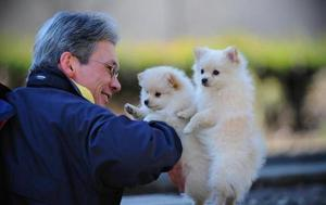 Pomeranian Pure Breed puppies available females and males FOR SALE ADOPTION