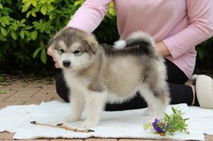 Stunning Alaskan Malamute Pups ready now FOR SALE ADOPTION