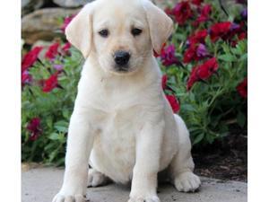 outstanding Labrador Retriever Puppies FOR SALE ADOPTION