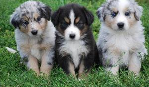 Australian shepherd puppies Available Male and Female FOR SALE ADOPTION