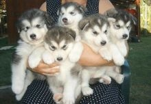 Cute alaskan malamute puppies for Available FOR SALE ADOPTION