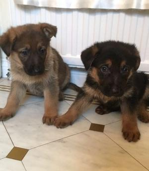 German Shepherd Puppies ready to leave now FOR SALE ADOPTION
