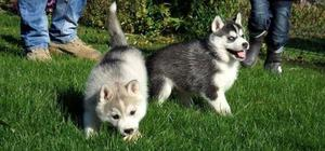 Ready Now Siberian Husky Puppies with blue eyes FOR SALE ADOPTION