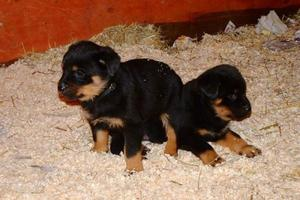 Wonderful Rottweiler Puppies Ready For Homes FOR SALE ADOPTION