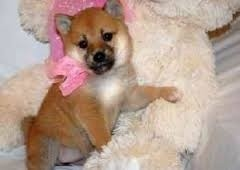 male and female Shiba Inu puppies for adoption FOR SALE ADOPTION