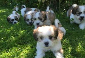 Adorable and lovely Shih tzu puppies for adoption FOR SALE ADOPTION