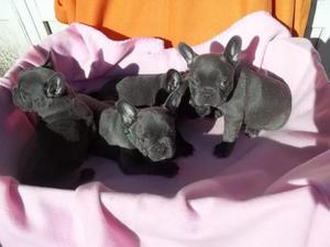 Blue French Bulldog Puppies ready now FOR SALE ADOPTION