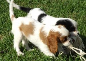 Charming Cavalier King Charles Spaniel Puppies For Sale FOR SALE ADOPTION