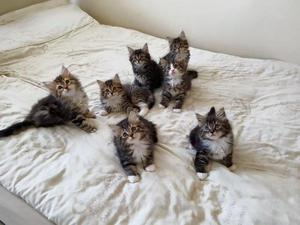 Adorable Siberian kittens for sale FOR SALE ADOPTION